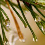 Decorative Photo showing Evergreen Needles